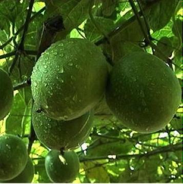 Luo Han Fruit